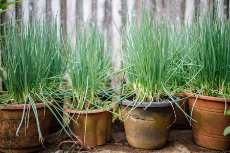 A few pots of home grown spring onion in back garden