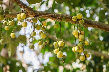 Langsat or Duki fruits hanging from tree branches in an orchard.