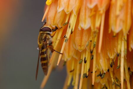 A Bee is Seen Gathering Nectar on an Orange Flower