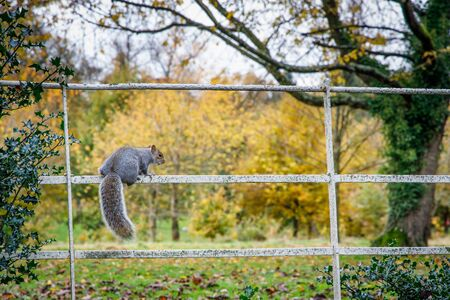 Squirrel out looking for food in Autumn in Grove Park