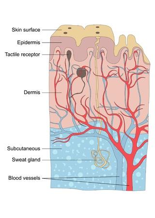 sudoracion: Ilustraci�n de la anatom�a de piel humana Vectores