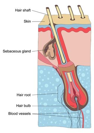 cellule nervose: Capelli umani struttura illustrazione anatomia Vettoriali