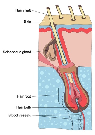 pore: Human hair structure anatomy illustration
