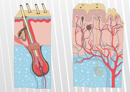 pore: Human skin and hair anatomy illustration background vector Illustration