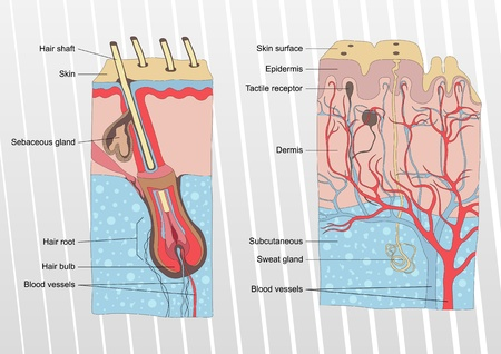 nervios: La piel humana y la anatom�a del pelo vector de ilustraci�n de fondo
