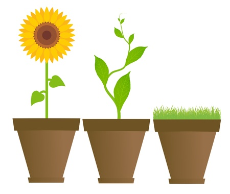 potted: Sunflower, bean, grass in houseplant pots vector background
