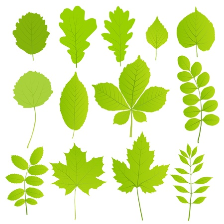linden: 흰색 배경에 고립 된 나무의 집합 잎 일러스트