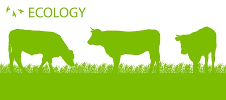 cows grazing: Store cattle ecology background organic farming vector concept Illustration