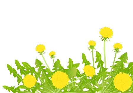wild herbs: Dandelion flower background card concept