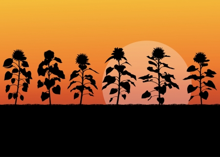 sunflower field: Sunflower field landscape vector background concept for poster Illustration