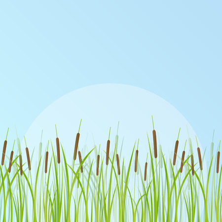 sedge: Cattail detailed illustration background vector