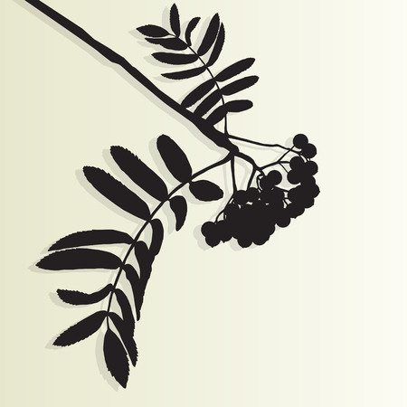 ash: Mountain ash tree rowan berries tree branch leaves with berry vintage vector background