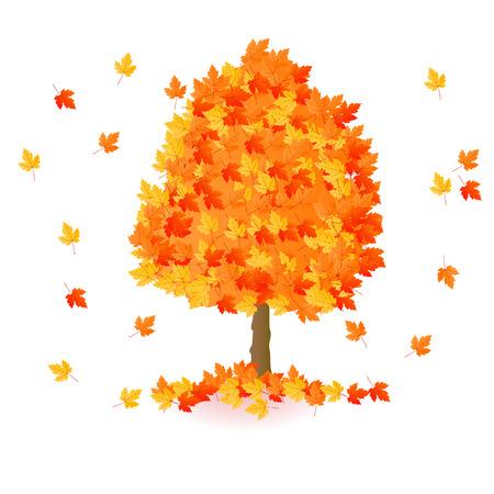 Autumn yellow orange red maple tree isolated on white background