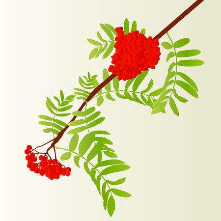 ashberry: Rowan berries tree branch with leaves autumn vector background vintage illustration Illustration