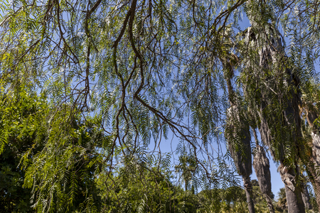 Thin willowy green branches on blue sky background