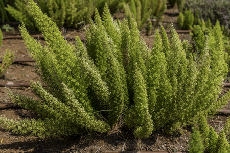 Asparagus fern green plant on garden bed in soil nature background