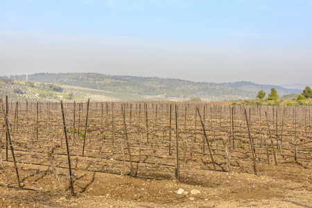Dry wood vineyard at winter with bare ground in Neve Shalom Israel with hills on background and blue sky Banco de Imagens
