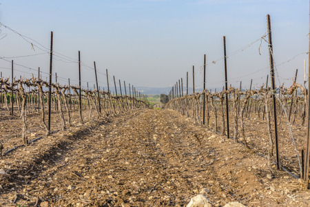 Passage between dry wood vineyard at winter with bare ground in Neve Shalom Israel with hills on background and blue sky from low angle