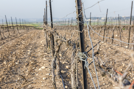 Closeup on dry wood vineyard at winter with bare ground in Neve Shalom Israel with hills on background and blue sky and lane