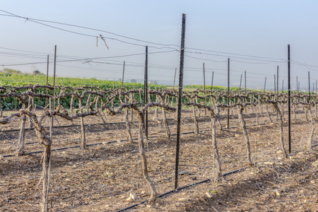 Rows of dry wood vineyard at winter with bare ground in Neve Shalom Israel with hills on background and blue sky