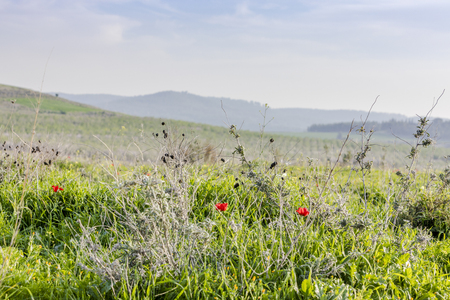 Wild grass field with yellow flowers and red poppies and cultivated growing grove on background