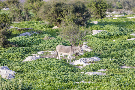 White and grey donkey tied to a bush in green lush grass rocky meadow surrounded by bushes Banco de Imagens