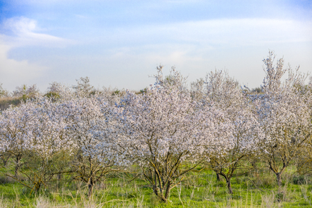 Almond trees grove in full bloom with white flowers with green lush grass and blue sky