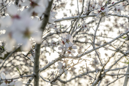 Focus on flower cluster of pale almond tree bloom on a tree branch with plenty of light behind Banco de Imagens