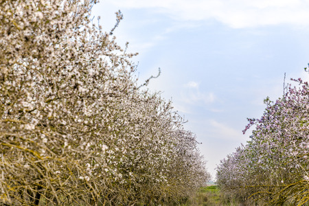 Passage between almond fully blooming trees standing in rows in grove with lush green grass and blue sky