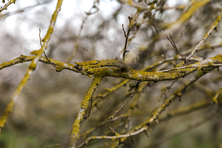 Almond tree twisted branches and twigs covered with yellow green moss Banco de Imagens