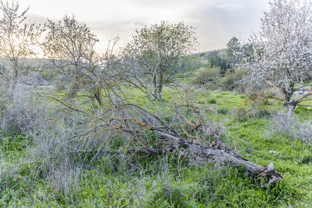Fallen almond tree covered with moss laying on the ground among standing blooming trees in grove with lush green grass at sunset