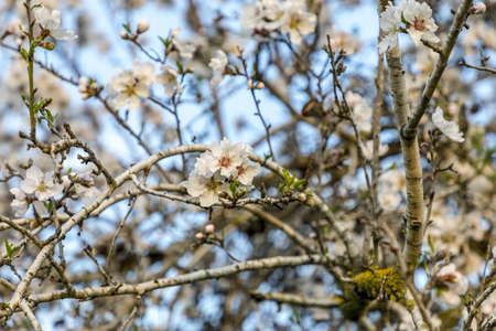 Focus on flower cluster of pale almond tree bloom on a tree branch with blue sky background behind the branches