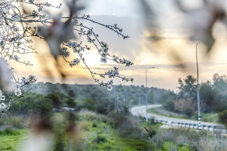 Blooming almond tree branch with road curve as background at yellow cloudy soft sunset