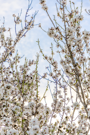 Almond tree white blossom green and brown branches stretching out to the blue sky vertical Banco de Imagens