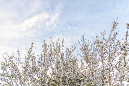 Almond tree white blossom green and brown branches stretching out to the blue sky background copy space Banco de Imagens