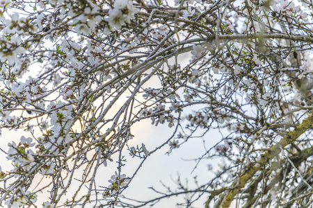 Focus on branches of pale almond tree bloom on a tree branch with plenty of light behind