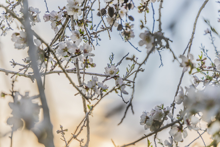 Focus on flower cluster of pale almond tree bloom on a tree branch with half orange sunset sky and half blue sky background behind the branches