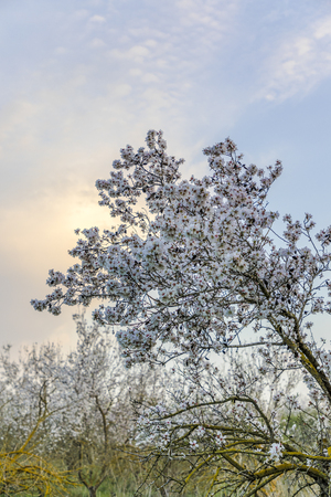 Big almond tree branch in full bloom with white flowers with sunset cloud and grove at background vertical