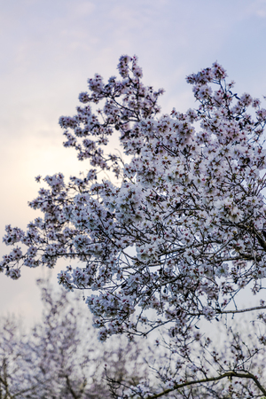 Big almond tree branch in full bloom with white flowers with sunset cloud and grove at background in blue purple tones vertical
