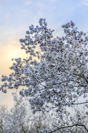 Big almond tree branch in full bloom with white flowers with sunset yellow cloud and grove at background vertical