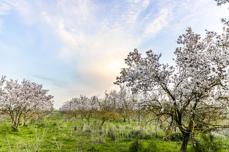 Almond tree with white flowers fully blooming grove with sunset blue purple yellow orange picturesque sky sun hiding behind a cloud copy space Banco de Imagens
