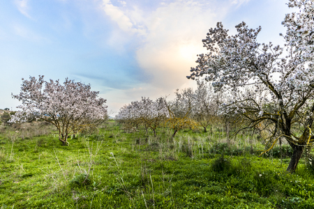 Almond tree with white flowers fully blooming grove with sunset blue purple yellow orange picturesque sky sun hiding behind a cloud