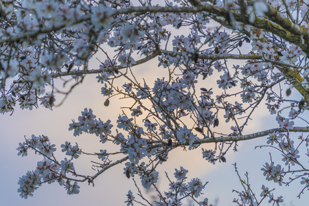 Almond tree in full blossom with white flowers background in purple tones at magic hour soft Banco de Imagens