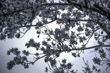 Almond tree in full blossom with white flowers background in blue monochrome tones at magic hour soft