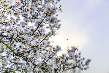 Almond tree in full white flowers blossom on left side with blue sky background copy space