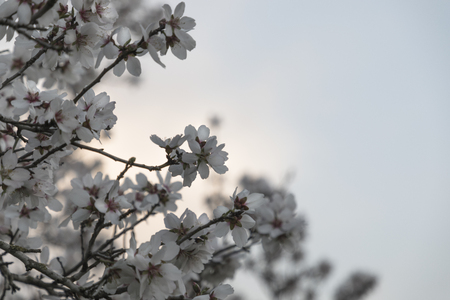 Almond tree in full white flowers blossom on left side with blue sky background copy space closeup