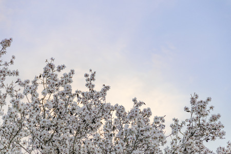 Almond tree white blossom green and brown branches stretching out to the blue purple sunset sky background copy space