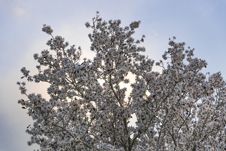 Almond tree in full white flowers bloom at magic hour with white fluorescent cloud and blue purple sky at background Banco de Imagens