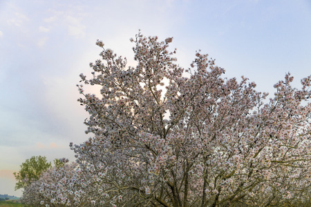 Almond tree in full white flowers bloom at magic hour with white fluorescent cloud and colourful sky at background Banco de Imagens