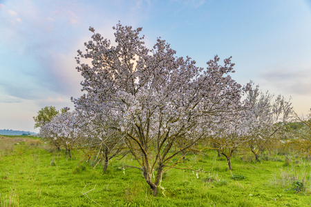 Colourful landscape with almond trees in full white flowers bloom in grove at magic hour with white fluorescent cloud and blue sky at background